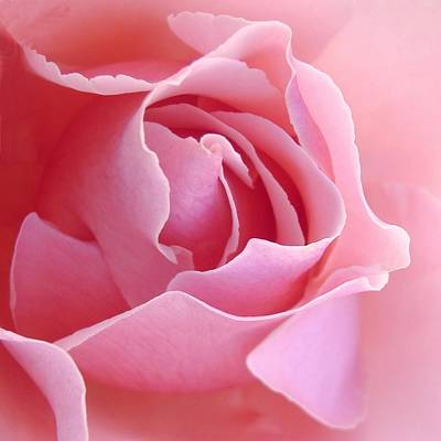 Sugar Of Rose Print by Jacqueline Migell
