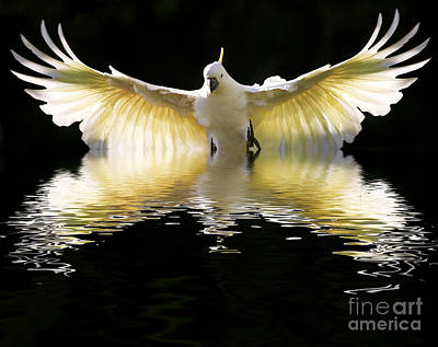 Cockatoo Digital Art - Sulphur Crested Cockatoo Rising by Avalon Fine Art Photography