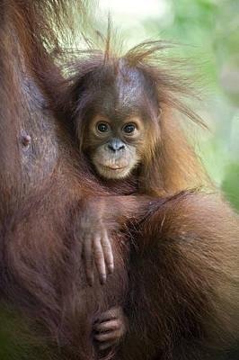 Sumatran Orangutan 9 Month Old Baby Print by Suzi Eszterhas