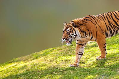 Sumatra Photograph - Sumatran Tiger On Hill Closeup by Susan Schmitz