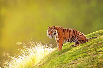 Sumatra Photograph - Sumatran Tiger On Hillside In Morning Light by Susan Schmitz