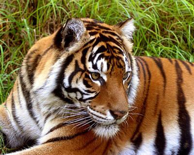 Sumatran Tiger Print by Tony Brown