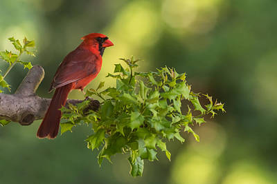 Summer Cardinal New Jersey Print by Terry DeLuco