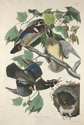 Wood Duck Drawing - Summer Or Wood Duck by John James Audubon