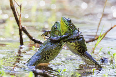 Sumo Wrestling Frogs Print by Mircea Costina Photography
