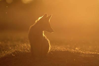 Sun Gazing Fox Print by Roeselien Raimond