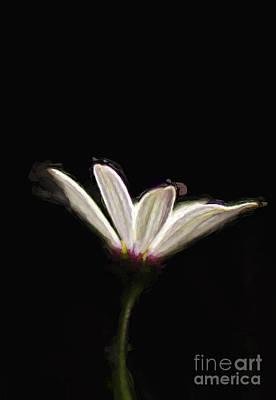 Osteospermum Photograph - Sun Kissed by Darren Fisher