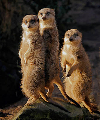Meerkat Painting - Sun Setting On The Meerkat Trio by Elaine Plesser