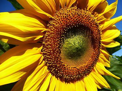Fushia Photograph - Sunflower 2015 12 by Tina M Wenger