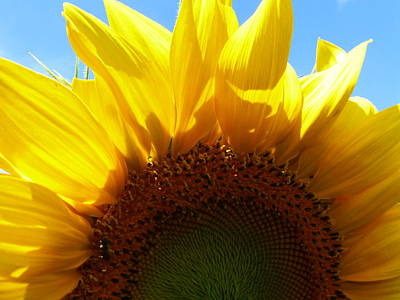 Fushia Photograph - Sunflower 2015 8 by Tina M Wenger