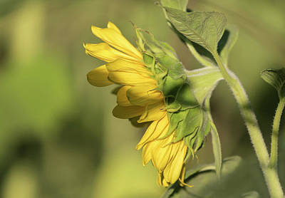 Photograph - Sunflower 2016-1 by Thomas Young