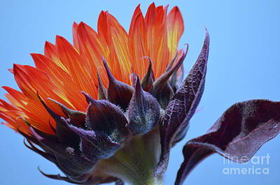 Sunflower Absorbing The Blue Sky Print by Mary Deal