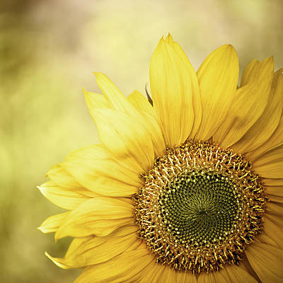 Sunflower Blossom With Bokeh Background Print by Elisabeth Schmitt