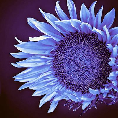 Sunflower Twilight Print by William Dey