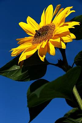 A Sunny Morning Photograph - Sunflower Breakfast 1. Just Arrived  by Rusalka Koroleva