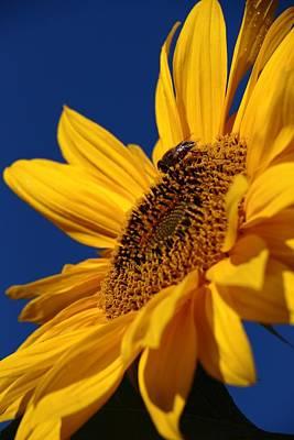 A Sunny Morning Photograph - Sunflower Breakfast 2 by Rusalka Koroleva