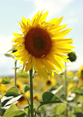 Blume Photograph - Sunflower by Falko Follert