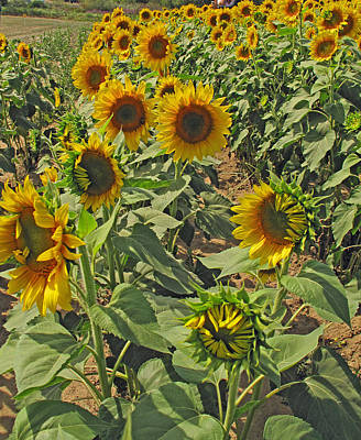 Photograph - Sunflower Field Two by Barbara McDevitt