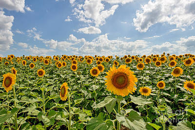 Sunflower Field Photograph - Sunflower Heaven by Tod and Cynthia Grubbs