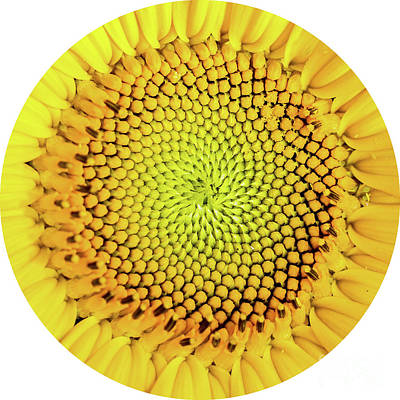 Sunflower Large Round Beach Towel Design Print by Edward Fielding