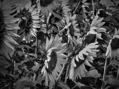 Sunflower Patch 001 Bw Print by Lance Vaughn