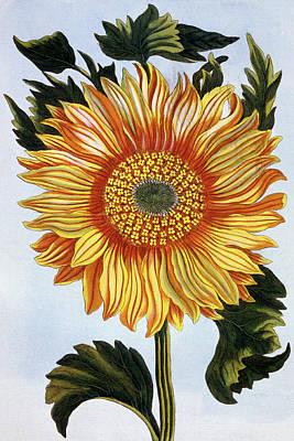 Sunflowers Drawing - Sunflower by Pierre-Joseph Buchoz