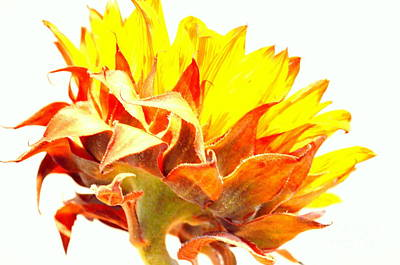 Sunflower Reflecting The Sunlight Print by Mary Deal