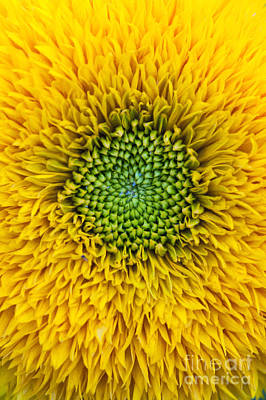 Digital Sunflower Photograph - Sunflower Teddy Bear by Tim Gainey