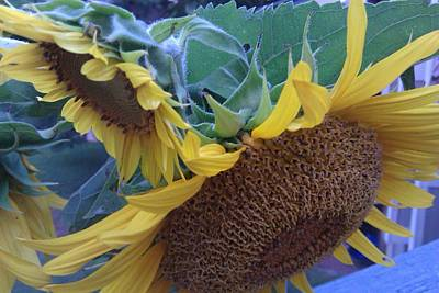 Photograph - Sunflowers by B L Qualls