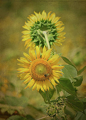 Sunflowers Back To Back By Sandi O' Reilly Print by Sandi O'Reilly