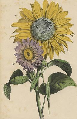 Sunflowers Print by German Botanical Artist