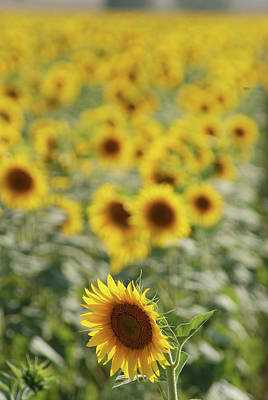 Photograph - Sunflowers In Field by Cliff  Norton