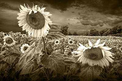 Sunflowers In Sepia Tone Print by Randall Nyhof