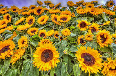 Amsterdam Photograph - Sunflowers by Nadia Sanowar