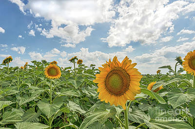 Sunflowers Photograph - Sunflowers Reach by Tod and Cynthia Grubbs