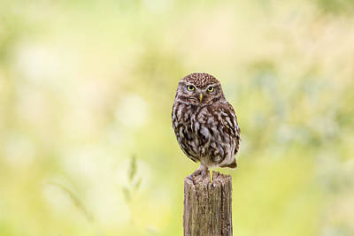 Owl Photograph - Sunken In Thoughts - Staring Little Owl by Roeselien Raimond