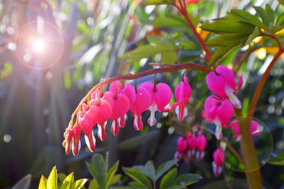 Fushia Photograph - Sunkissed Bleeding Heart by Tina M Wenger