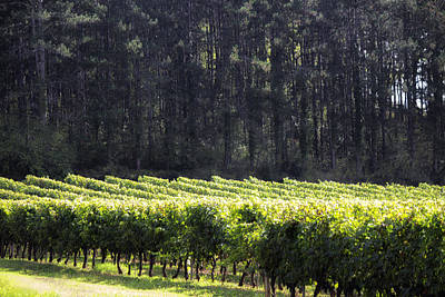 Grapevine Photograph - Sunlight On French Vines by Georgia Fowler