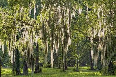Sunlight Streaming Through Spanish Moss Print by Bonnie Barry