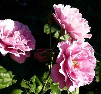 Trio Photograph - Sunlit Angel Face Roses by Will Borden