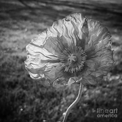 Sunlit Poppy Bw Print by Chalet Roome-Rigdon