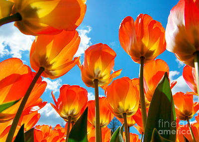 Photograph - Sunlit Tulips by Traci Law