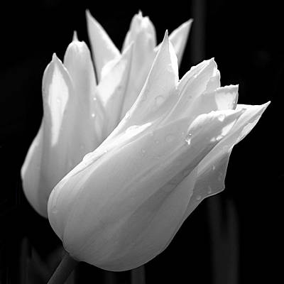 Tulips Photograph - Sunlit White Tulips by Rona Black