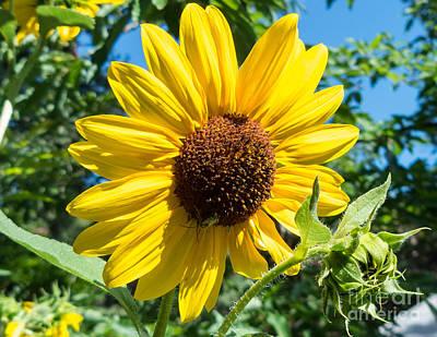 Sunny Sunflower Print by Bob and Nancy Kendrick