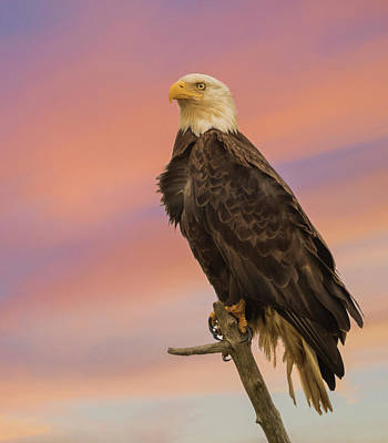 Sunset Eagle Print by Angie Vogel