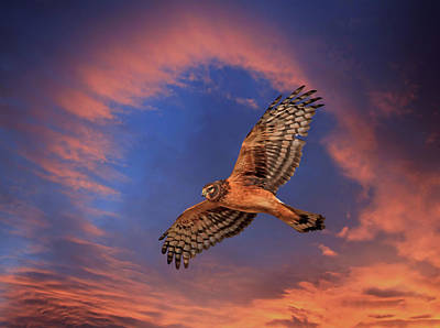 Northern Harrier Photograph - Sunset Flight by Donna Kennedy