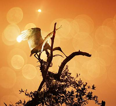 Spoonbill Digital Art - Sunset Roseate Spoonbill by Sheri McLeroy