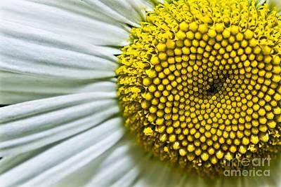 Sunshine Daisy Print by Ryan Kelly