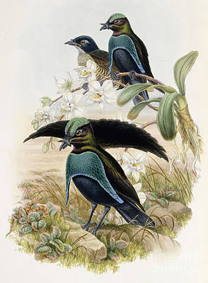 Floral Drawing - Superb Bird Of Paradise  by John Gould