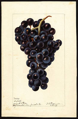 Drawing - Superb Variety Of Grapes by Deborah Griscom Passmore